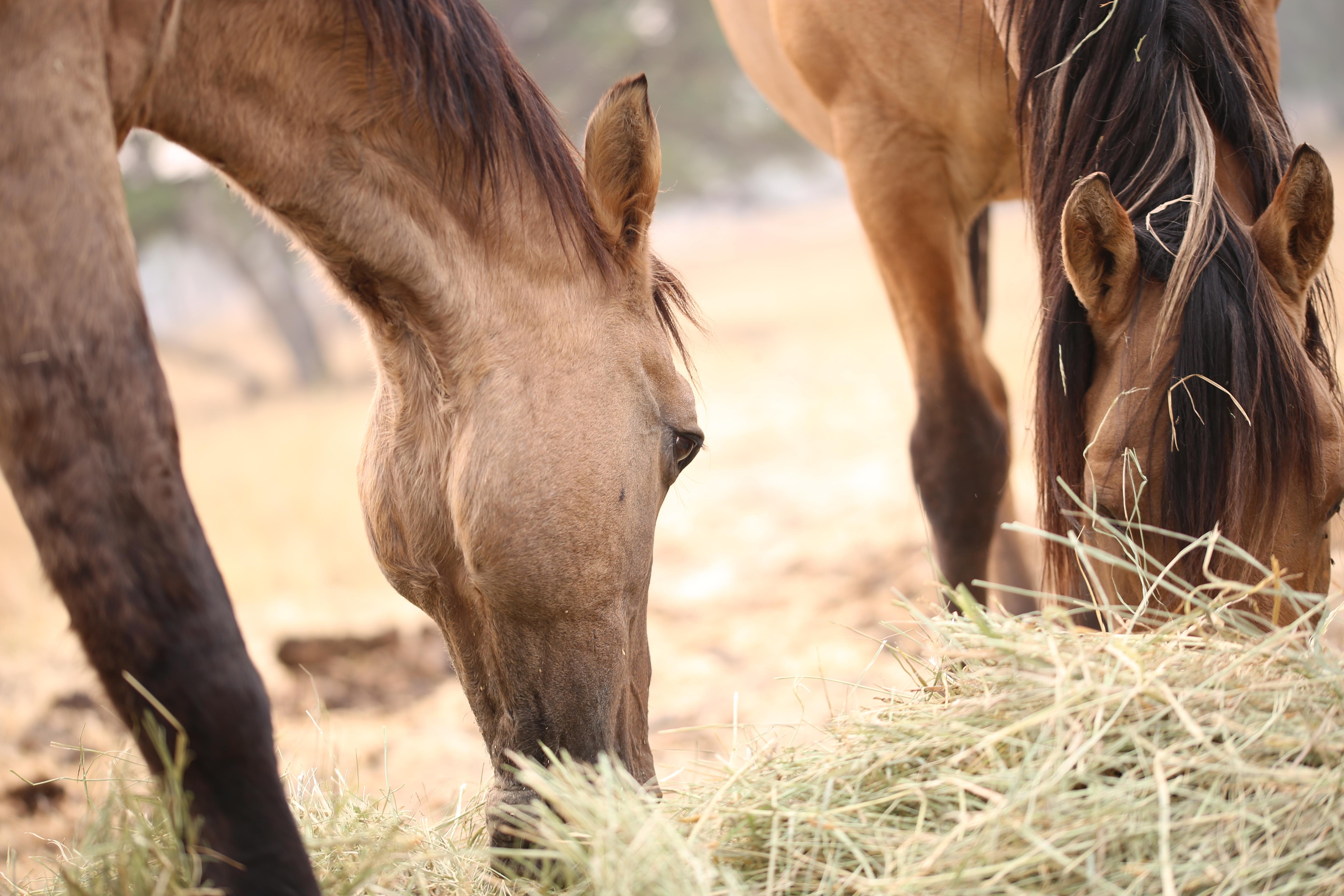 2 Pferde beim fressen