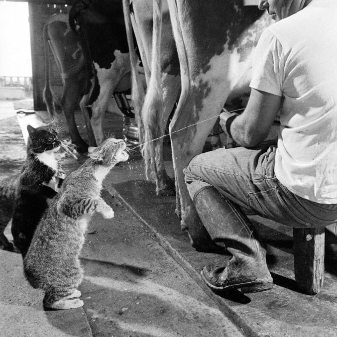 Cats Blackie & Brownie (fore) catching squirts of milk during milking at Arch Badertscher's dairy farm.